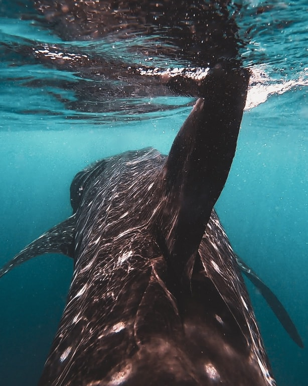 whale sharks in India